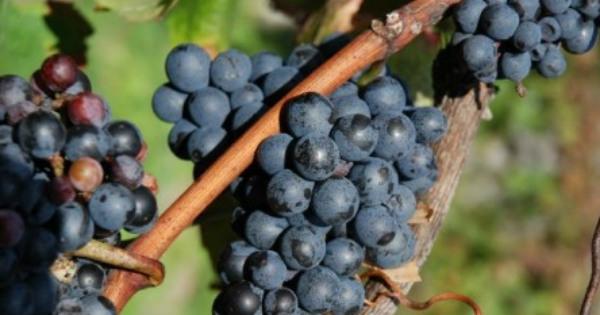 Vignoble aux Pieds des Noyers